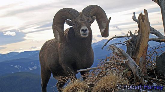 Ram Big Horn >> Boone and Crockett Club