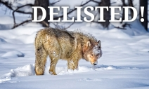 news-graywolf-delisting-card.jpg