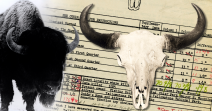 World's Record Bison