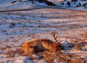 pplandingpage-montana-wasted-bull-elk.jpg