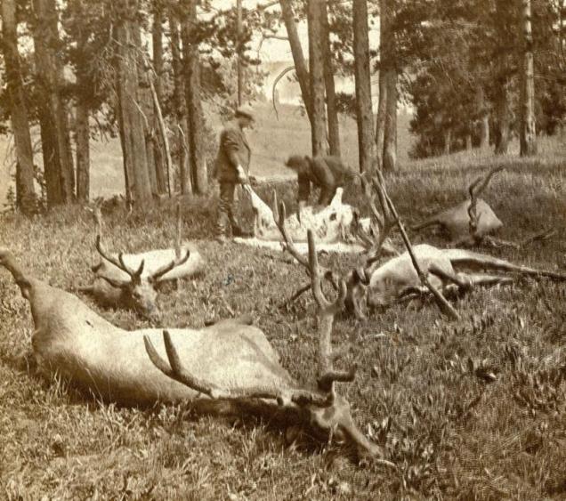 POACHandPAY-Yellowstone-elk.jpg