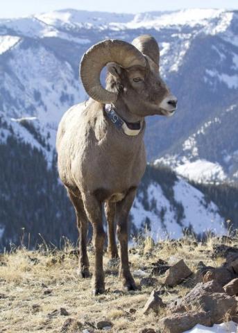 news-031720_bighorn_sheep_ram.jpg
