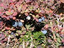 FS_berries.jpg