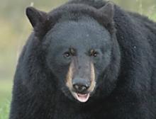 TP_blackbear2.jpg