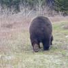 caughtoncamera-junecard-grizzly-img_1099.jpg
